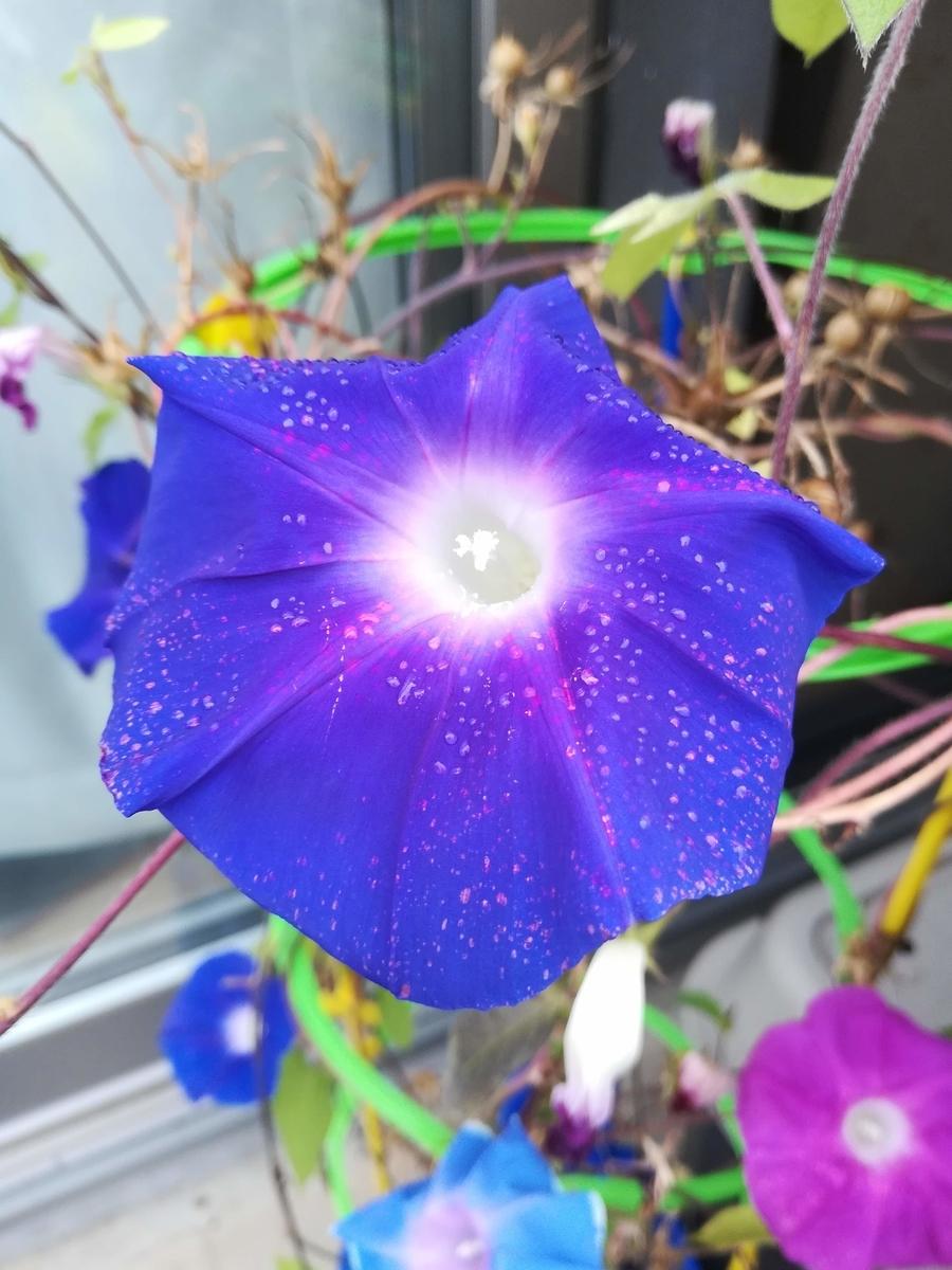 朝顔の大きな花びら