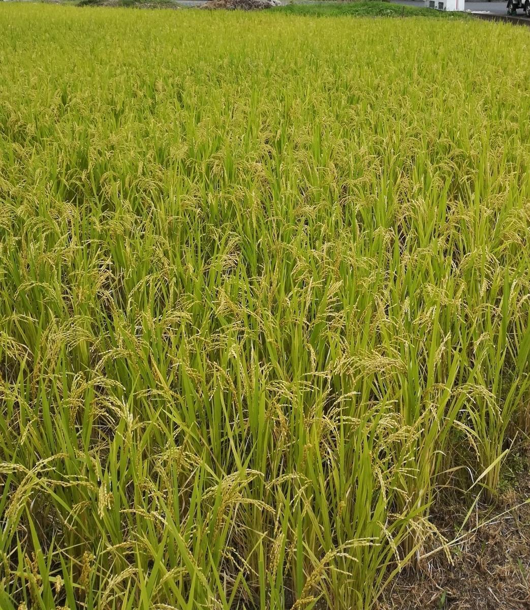 お米がいっぱい育ってきました!