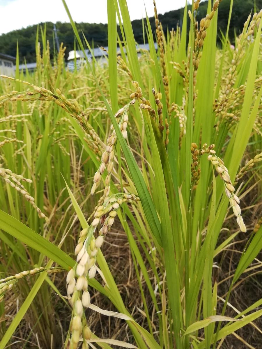 収穫間近なのでお米がいっぱいです!