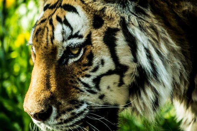 虎は広大な密林の圧倒的な頂点たる存在