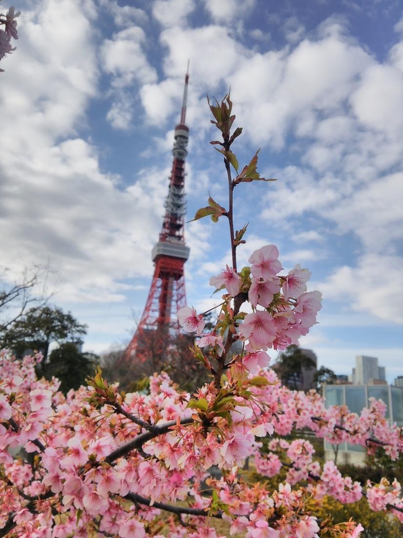 芝公園の河津桜