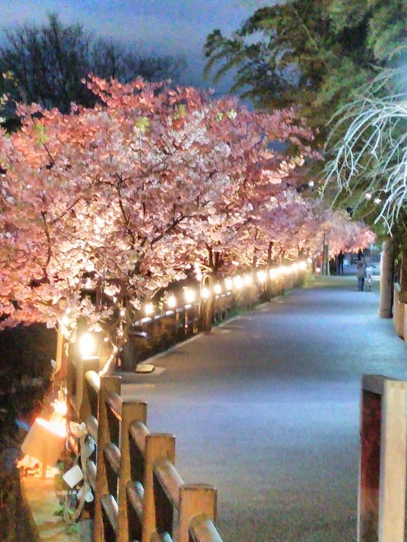 松戸神社の河津桜
