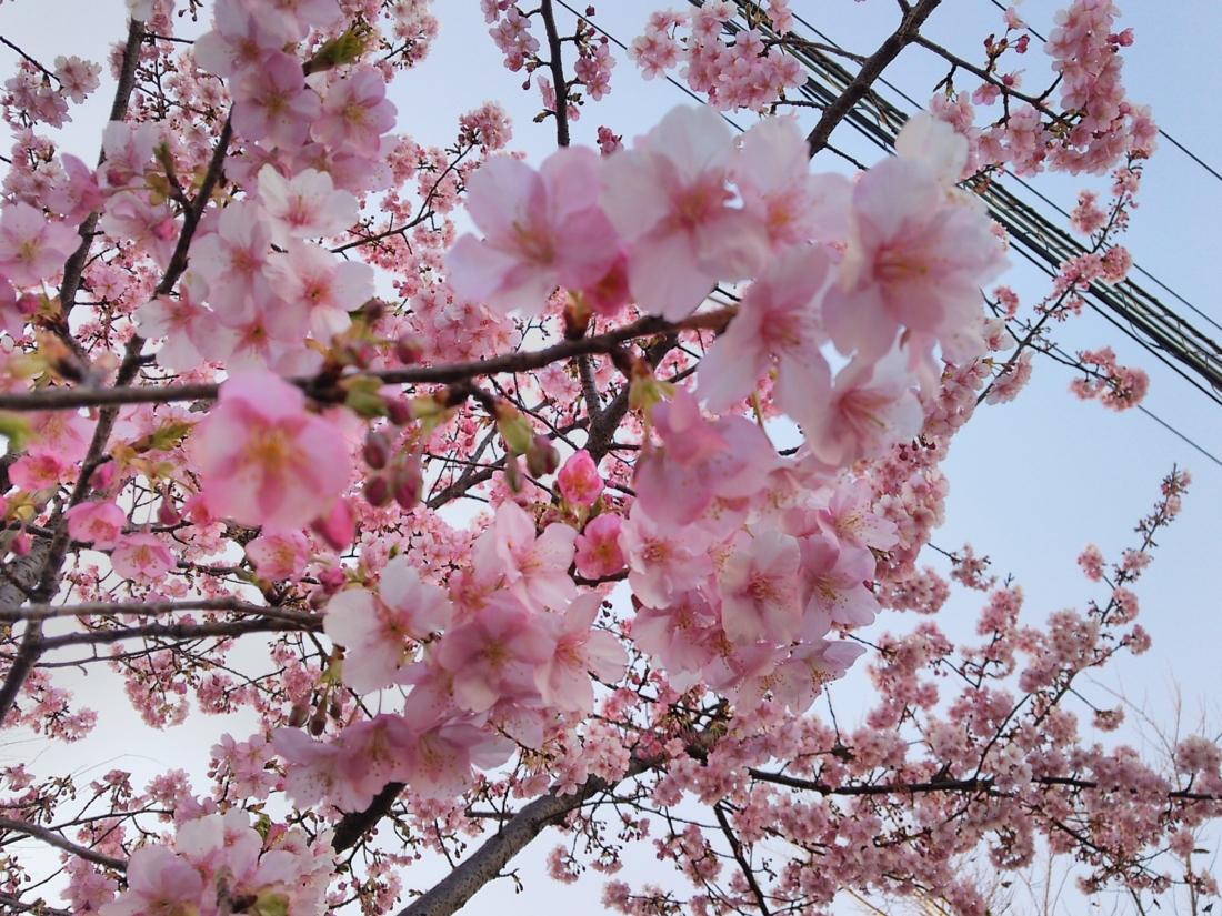 昼の河津桜