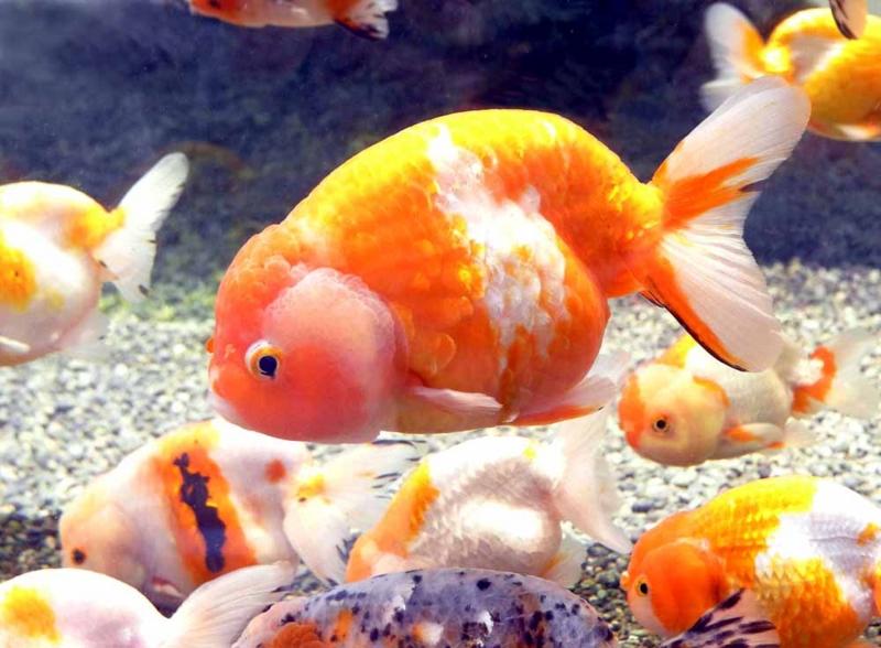 30種1000匹・弥富金魚 - 原健 ブログ