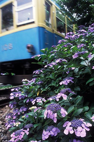 050710箱根紫陽花