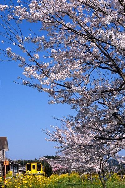 080406総元駅で見上げる桜