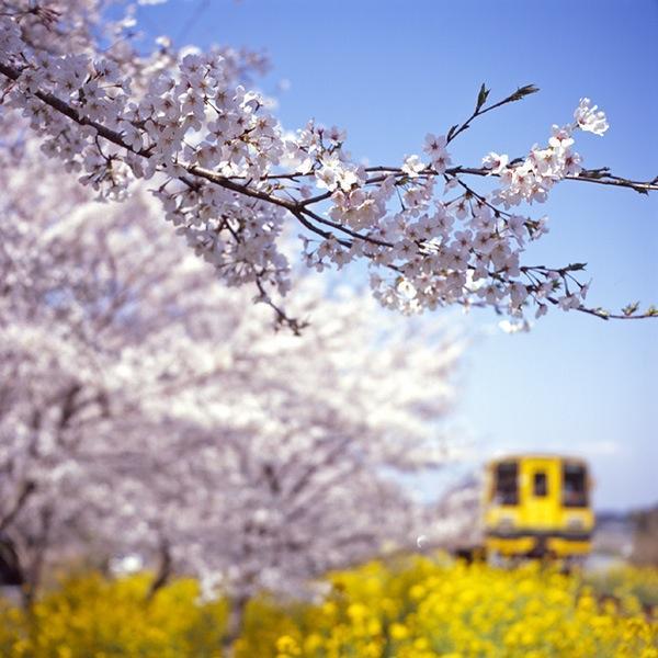 080406新田野の桜並木とレールバス