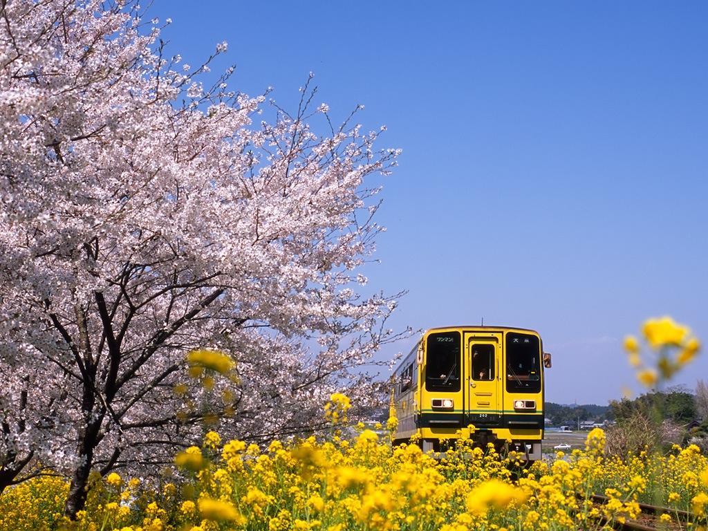 080406新田野の桜並木、菜の花、レールバス