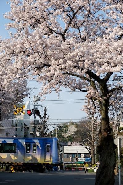 090406 桜咲く東横線菊名1号踏切
