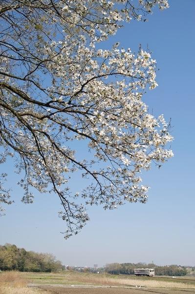 090411 コブシの花と湊線