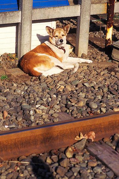 941217厚木基地引込線犬