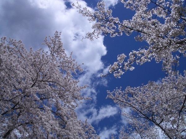船岡城趾の桜