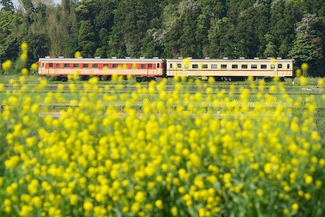 100509 菜の花と湊線の国鉄色車両