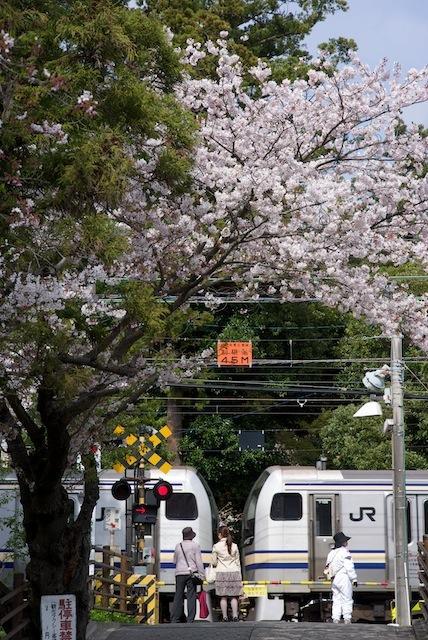 100410 円覚寺下の踏切の桜