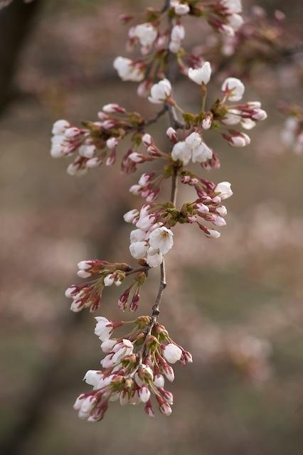 100418 夜間瀬川河川敷の桜のつぼみ