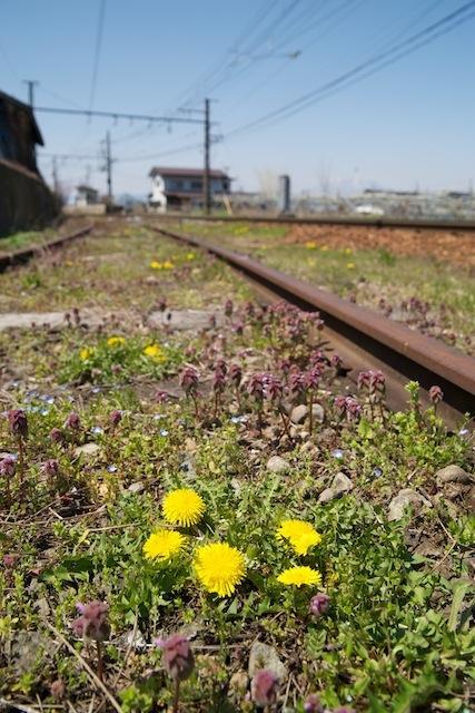 100425 信濃竹原の線路に咲くタンポポ