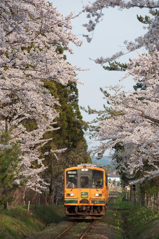 10503 桜の芦野公園を走る津軽21形