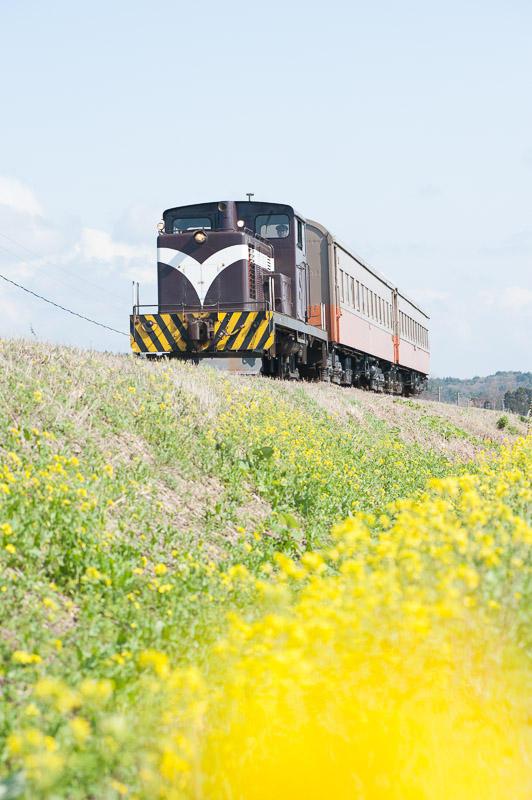 110505 菜の花と客車列車