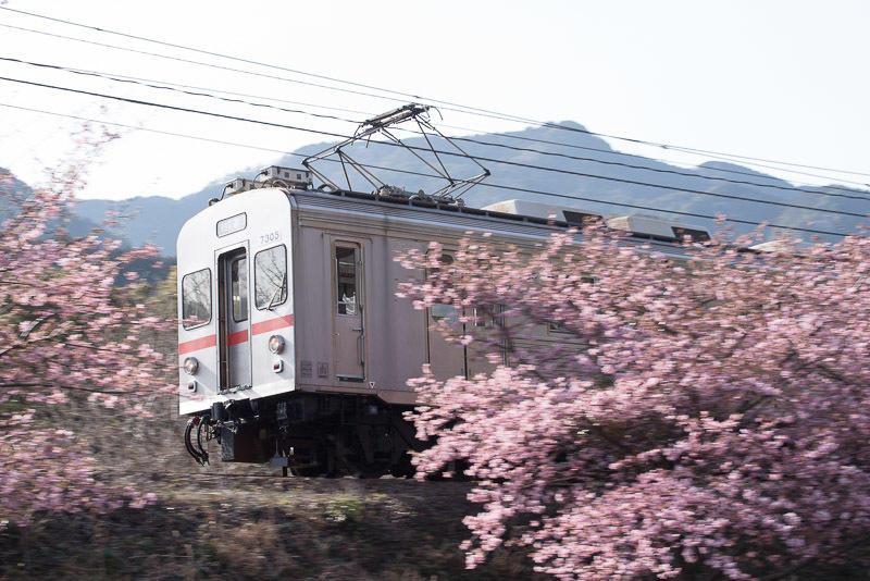 150228 河津桜と7200系