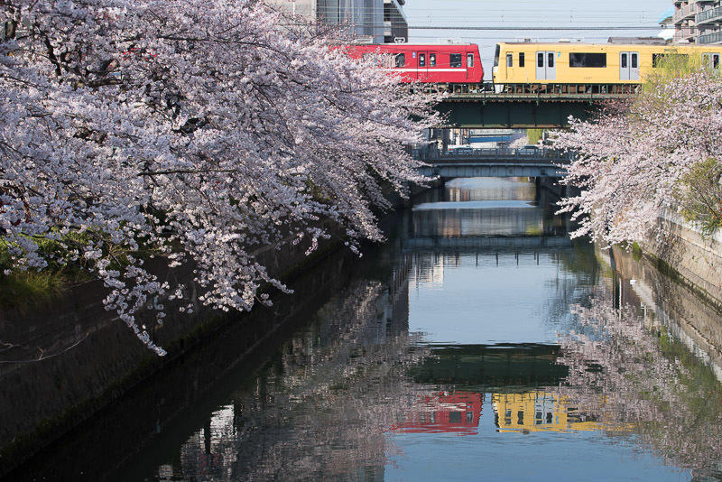 150330 石崎川の桜と京急