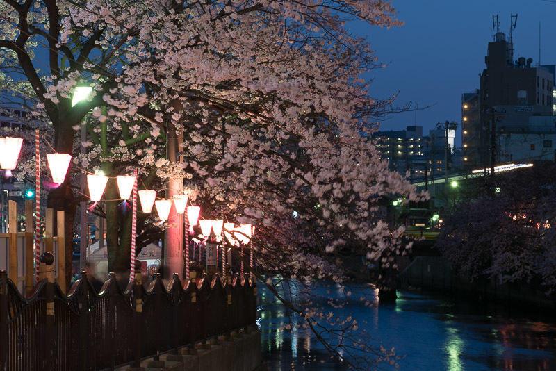 150330 大岡川夜桜