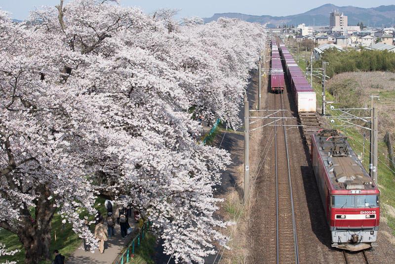 150412 一目千本桜とすれ違う貨物列車