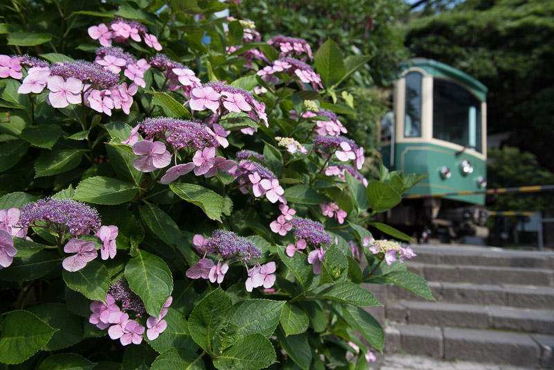 160618 御霊神社参道の紫陽花と江ノ電