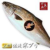 魚水島 新潟 佐度産 天然 鰤 寒ブリ 「佐渡 寒ぶり」 3.0kg?3.9kg 一尾丸もの