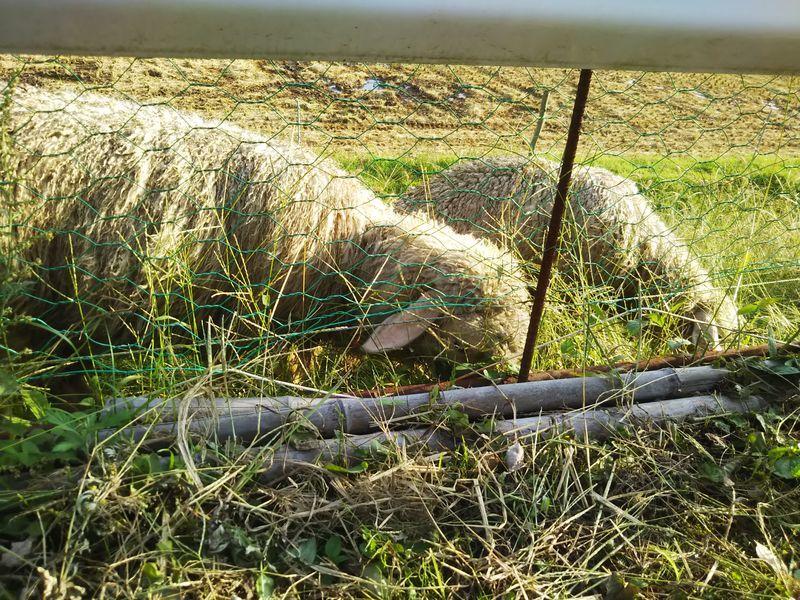 金網越しに撮影した草を食べている2匹の羊