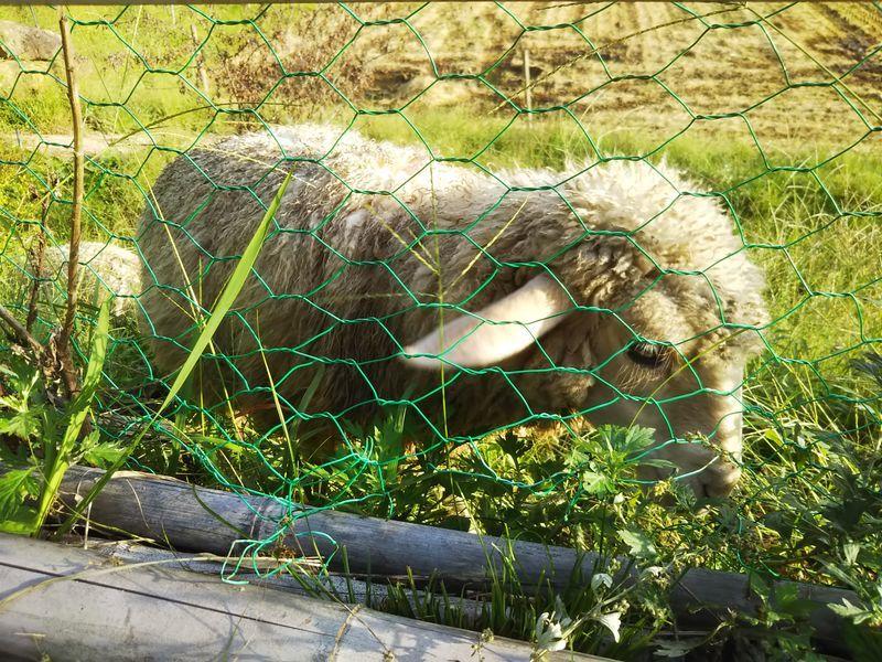 金網越しに撮影した草を食べている1匹のかわいい羊