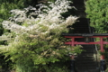 京都新聞写真コンテスト 天満宮の桜