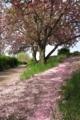 京都新聞写真コンテスト 花弁の小径