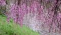 京都新聞写真コンテスト 枝垂れのカーテン