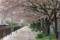 京都新聞写真コンテスト 桜の道