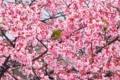 京都新聞写真コンテスト 春の雨あがり