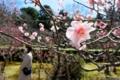 京都新聞写真コンテスト 春 満開