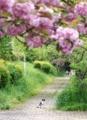 京都新聞写真コンテスト 桜の下で