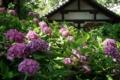 京都新聞写真コンテスト あじさいの杜