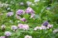 京都新聞写真コンテスト 山の紫陽花