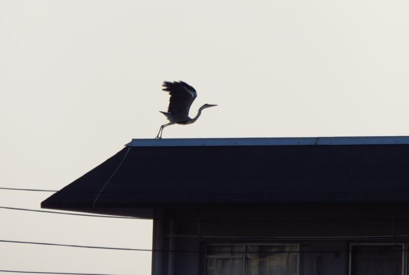 京都新聞写真コンテスト 鳳凰
