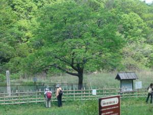 なんじゃもんじゃの木