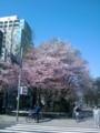 大通公園の桜。