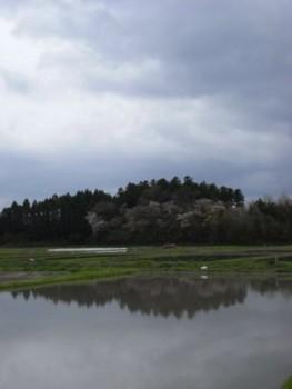 佐渡 荒天後の田にて:山桜