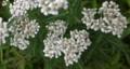 佐渡 ツブツブの白い花