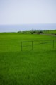 佐渡 田圃の眩しい緑