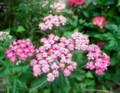 佐渡 古民家改修の現場で咲く花
