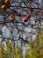 佐渡 樹に残る柿とセイタカアワダチソウ