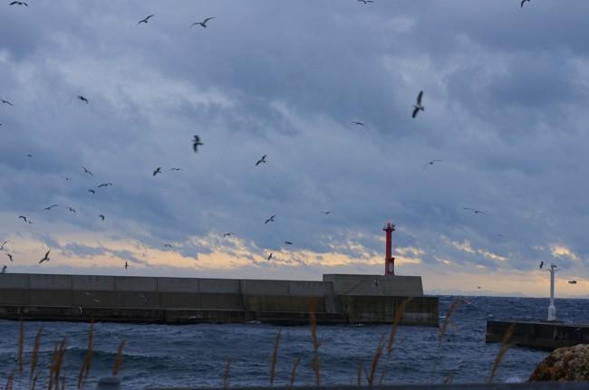 佐渡 水津漁港の朝/カモメ飛ぶ
