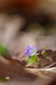 佐渡 足元の小さな春