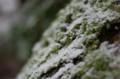 佐渡 雪化粧した苔